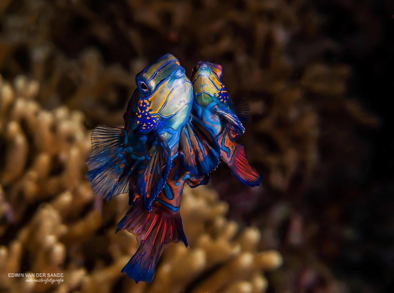 Philippines, Bohol, Magic Oceans Dive Resort, Mandarins, image