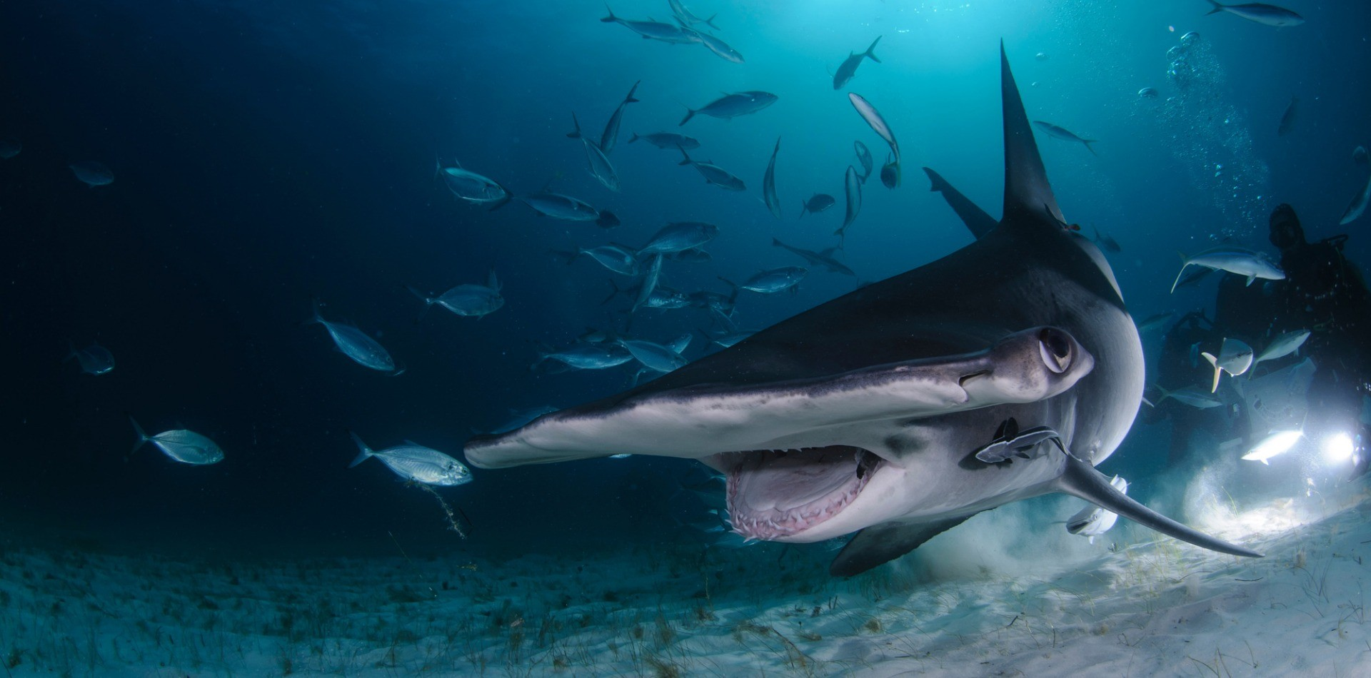 Polynesian Sharks Mouth By Cameron Rutten: Hammerhead And Tiger Shark Experience (7 Nights)