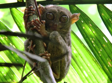 Philippines, Bohol, Magic Oceans Dive Resort, Slow Loris, image